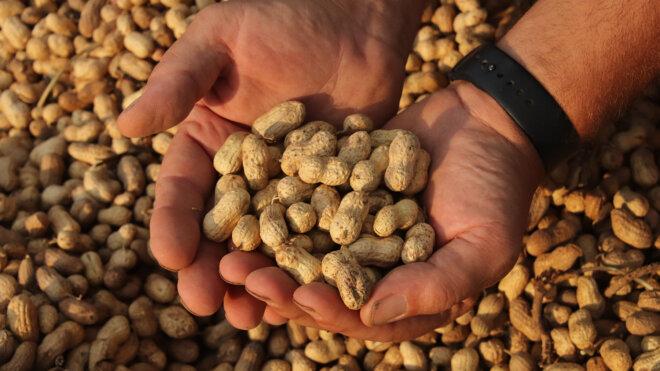 Is a peanut really a nut?
